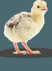 Здоровые цыплята